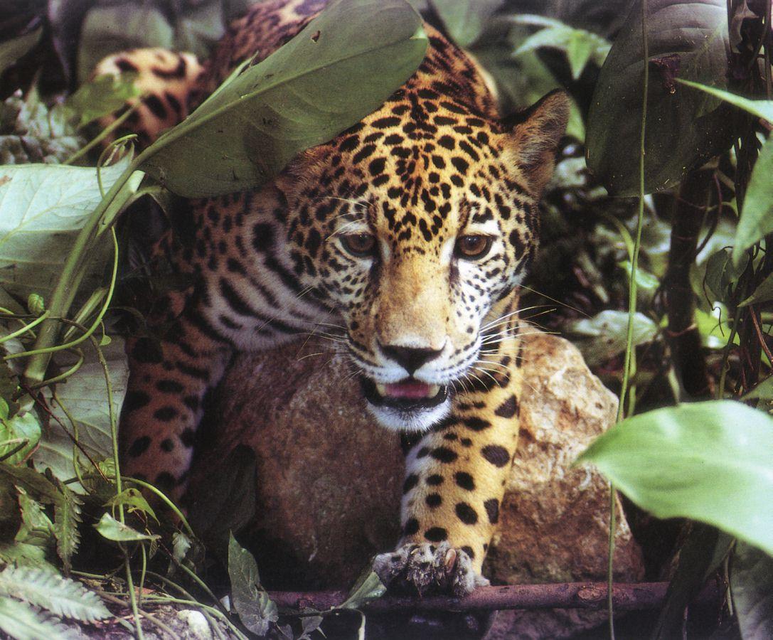 http://www.ai.mit.edu/lab/olympics/98/images/jaguar.jpg